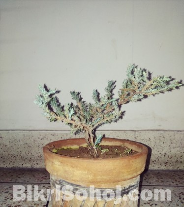 Bonsai tree for beginner.